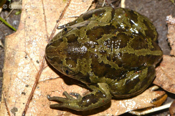 2nd Common Spadefoot Toad - Pelobates fuscus