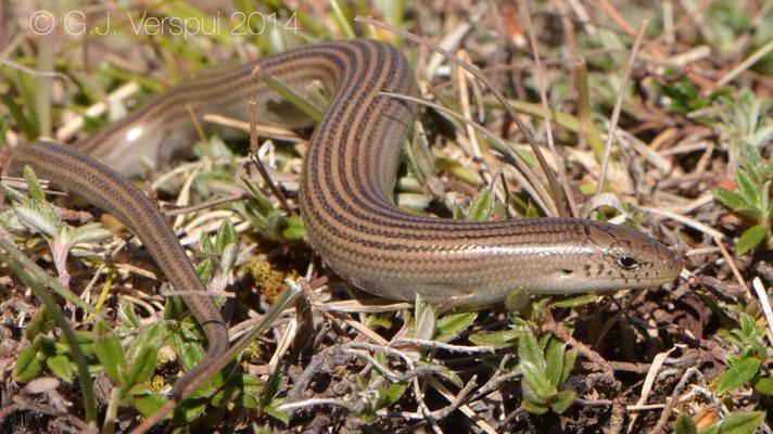 Iberian Tree-toed Skink - Chalcides striatus, Not in situ