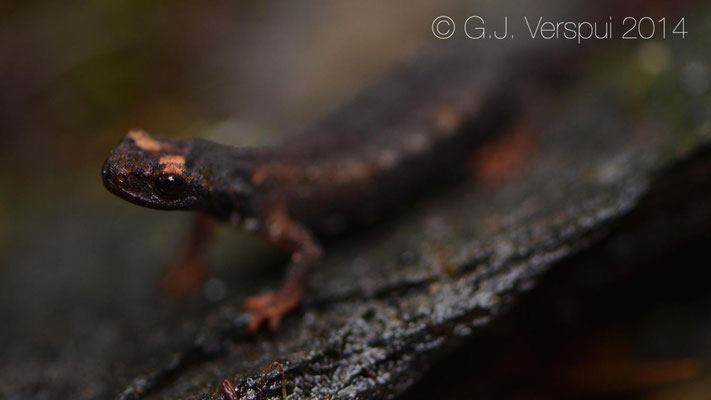 Southern Spectacled Salamander - Salamandrina terdigitata