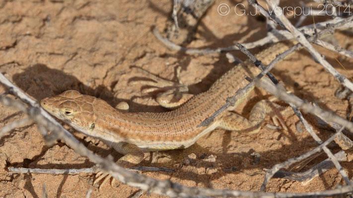 Arnold's Fringe-Fingered Lizard - Acanthodactylus opheodurus, In Situ