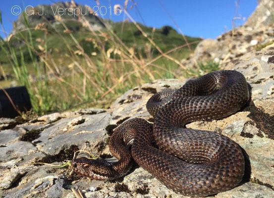 French Concolor Asp viper - Vipera aspis 'atra'