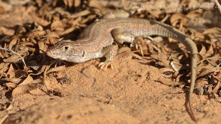 Bosk's Fringe-Fingered Lizard - Acanthodactylus boskianus, In Situ