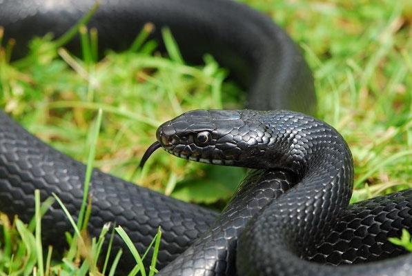 Western Whip Snake - Hierophis viridiflavus