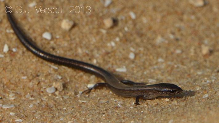 Snake-eyed Skink - Ablepharus kitaibelii
