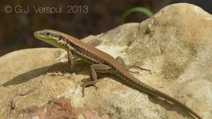 lebanon Lizard - Phoenicolacerta laevis    In Situ