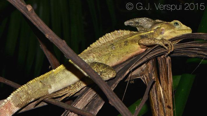 Basiliscus vittatus, In Situ