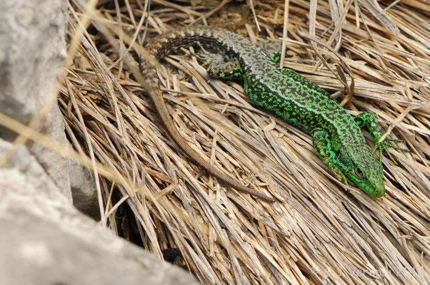 Iberian Rock Lizard - Iberolacerta monticola cantabrica    In Situ