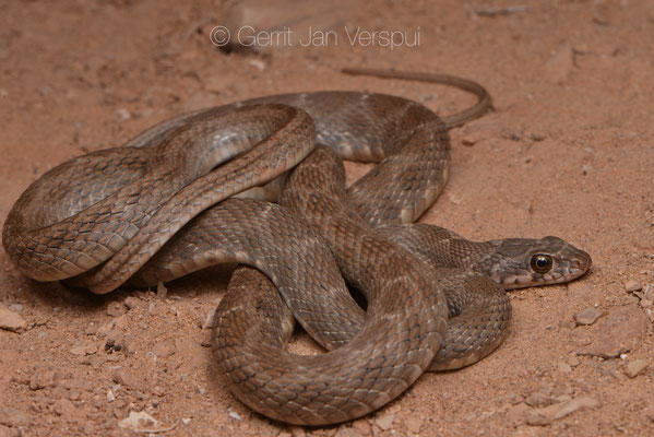 Hemorrhois algirus from Assa