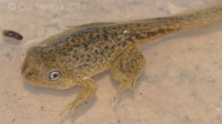 Common Midwife Toad - Alytes obstetricans almogavari