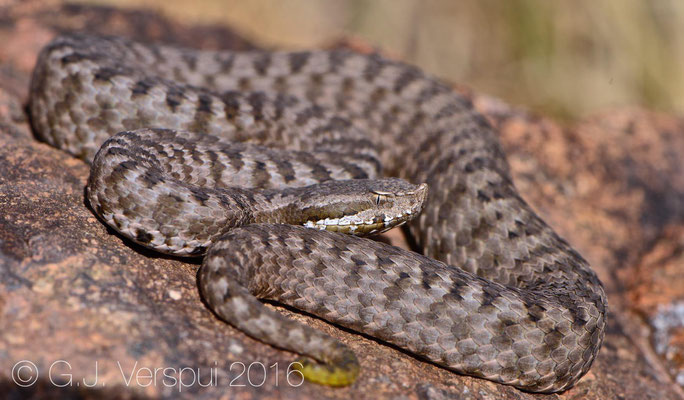 First female Vipera monticola