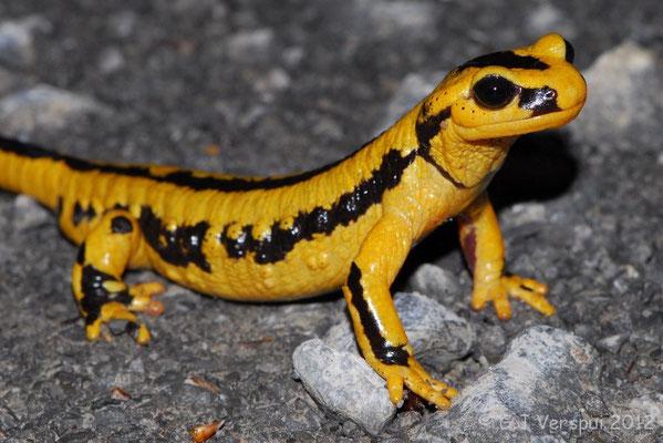 Fire Salamander - Salamandra salamandra fastuosa (Male)    In Situ