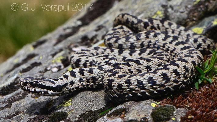 Male Walser Viper - Vipera walser