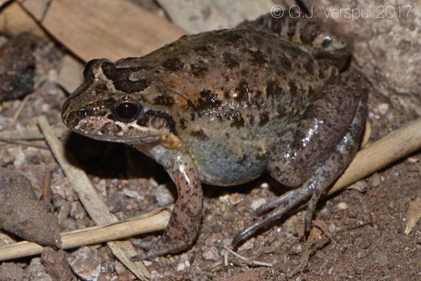 Leptodactylus melanonotus