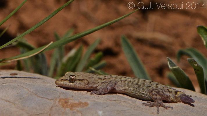 Hermon Bowfoot Gecko - Crytopodion Amictopholis