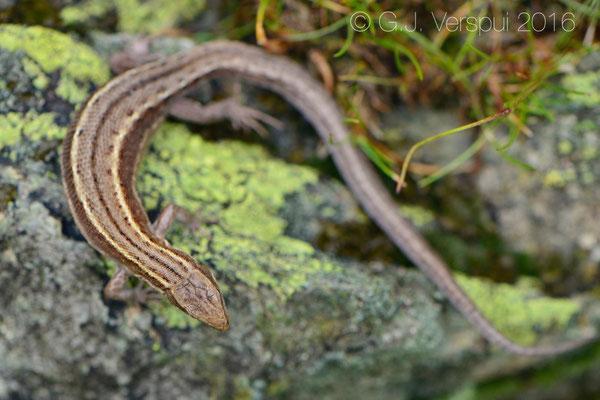 Viviparous lizard - Zootoca vivipara carniolica