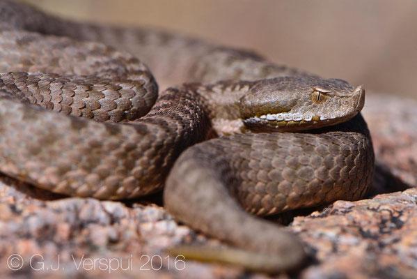 Second female Vipera monticola