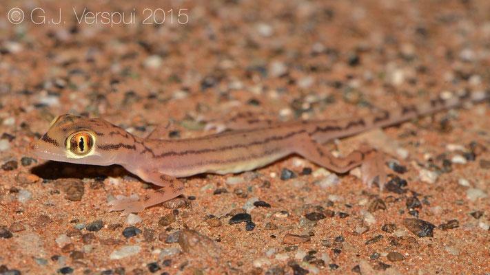 Stenodactylus arabicus