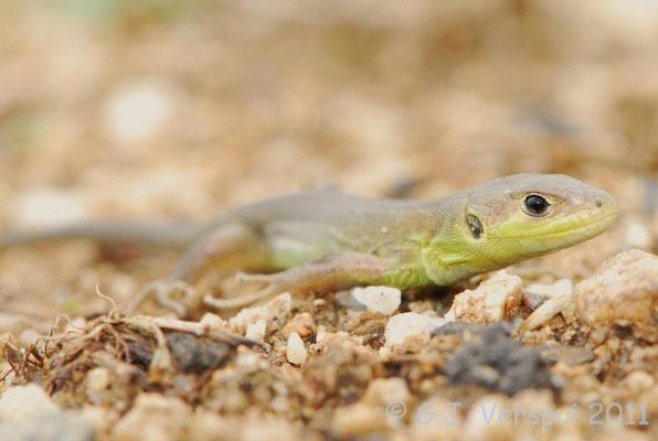 Western Green Lizard - Lacerta bilineata (juvenile)