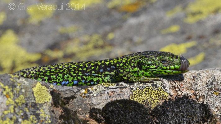 Galan's Rock Lizard - Iberolacerta galani