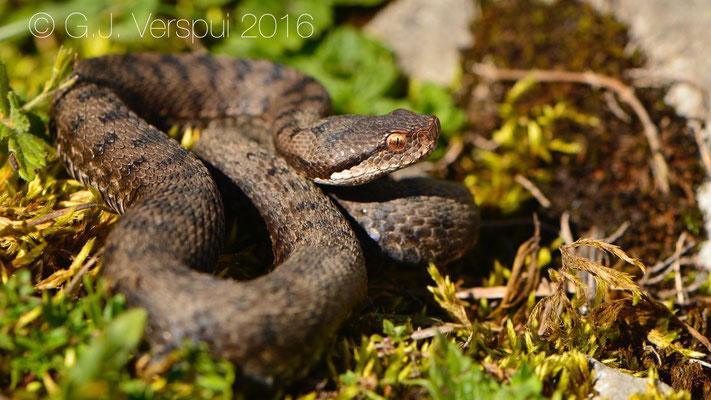 Swiss Asp viper - Vipera aspis 'atra'