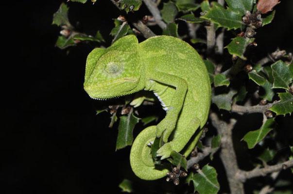 African Chameleon - Chamaeleo africanus   In Situ