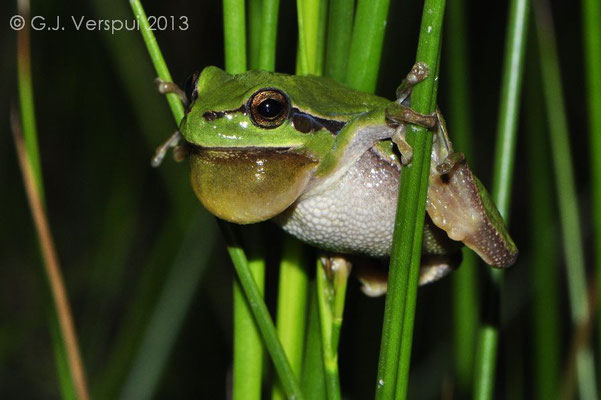 Male Common Tree Frog - Hyla arborea