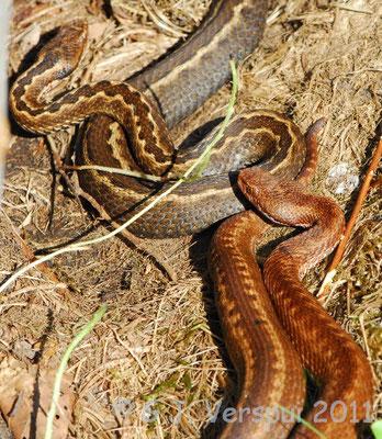 Seoane's Viper - Vipera seoanei    In Situ