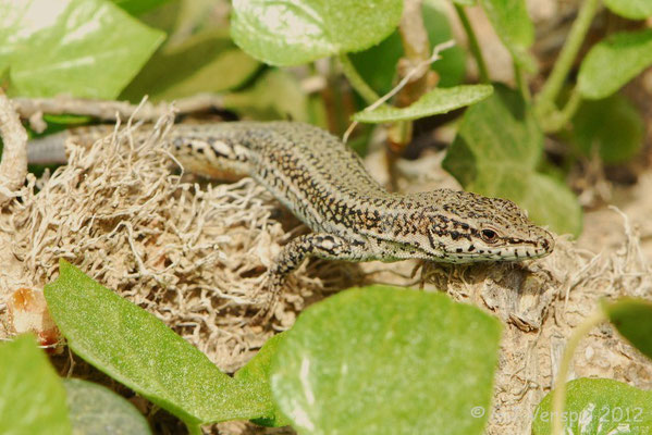 Iberian Wall Lizard - Podarcis hispanicus (s.s.)    In Situ