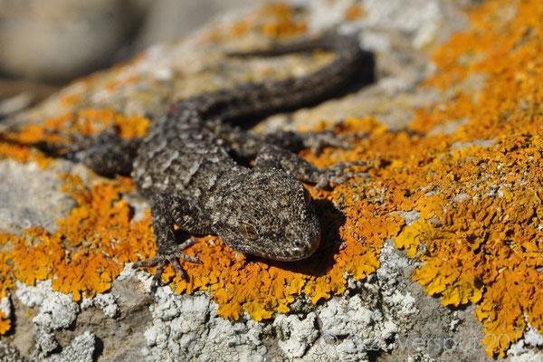 Kotschy's Gecko - Mediodactylus kotschyi