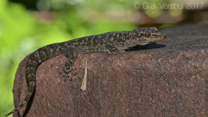 Phyllodactylus homolepidurus