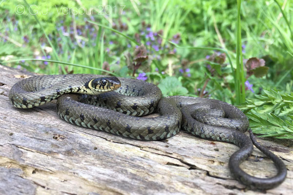 Male Grass Snake - Natrix natrix