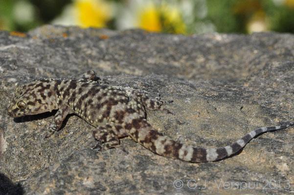 Turkish Gecko - Hemidactylus turcicus  Not in Situ