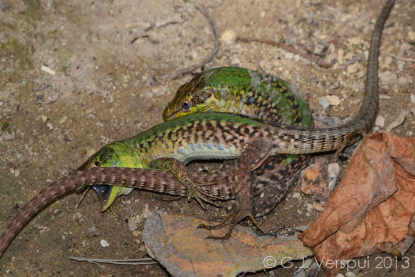 Winner by submission, Italian Wall Lizard with the loose skin!