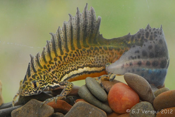 Northern Banded Newt - Ommatotriton ophryticus (male)