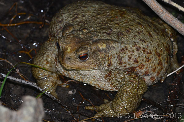 Common Toad - Bufo bufo, even bigger then the other one.   In Situ