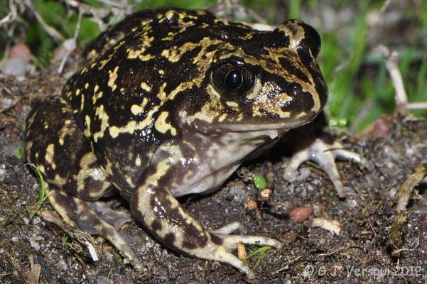 Western Spadefoot Toad - Pelobates cultripes   In Situ