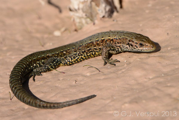 Viviparous Lizard - Zootoca vivipara, Not In Situ.