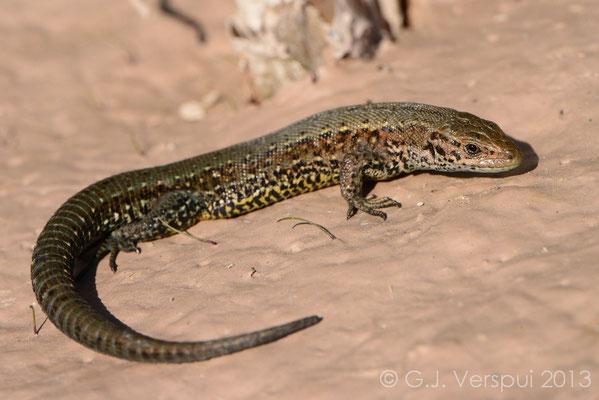 Viviparous Lizard - Zootoca vivipara, Not In Situ.