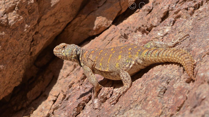 Ornate Mastigure - Uromastyx ornata, In Situ