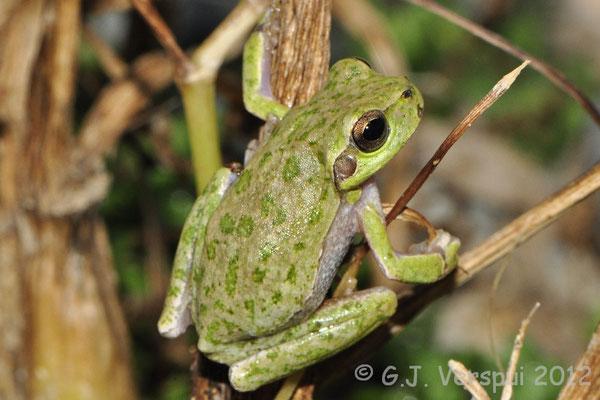 Tyrrhenian Tree Frog - Hyla sarda