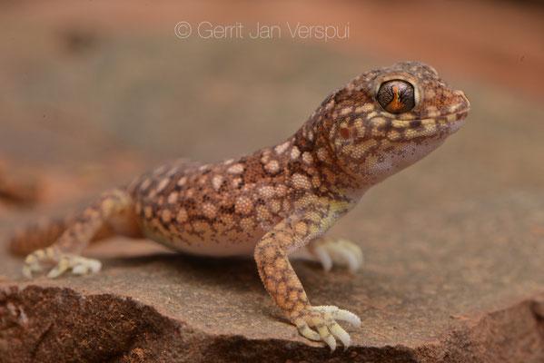 Stenodactylus mauritanicus