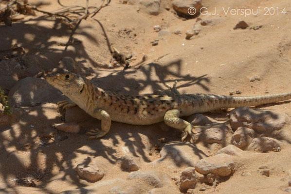 Beer Sheva Fringe-Fingered Lizard - Acanthodactylus beershebensis