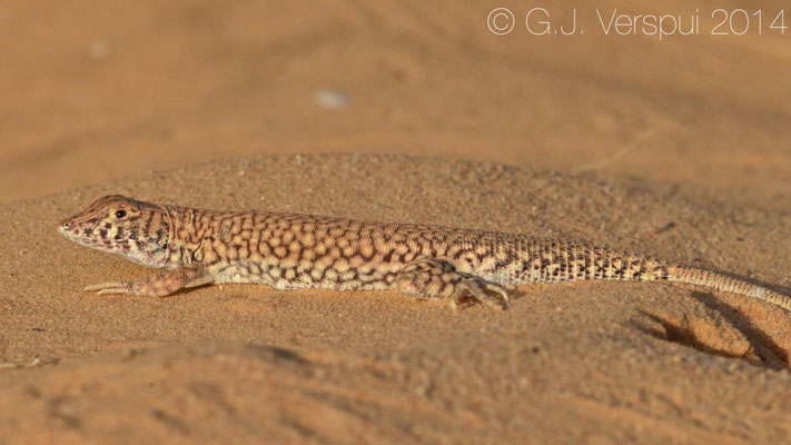 I took this photo: Nidua Fringe-Fingered Lizard - Acanthodactylus scutellatus, In Situ