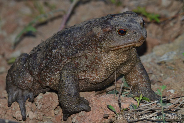 Very big Common Toad - Bufo bufo