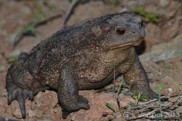 Very big Common Toad - Bufo bufo