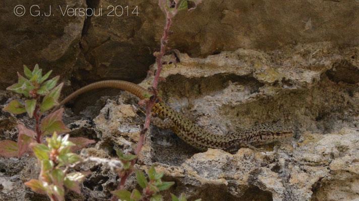 Iberian Wall Lizard - Podarcis virescens