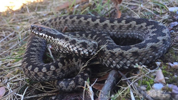 Male Adder - Vipera berus, (Iphone)