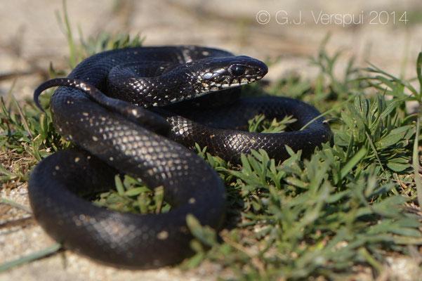 Melanistic Grass Snake - Natrix natrix persa