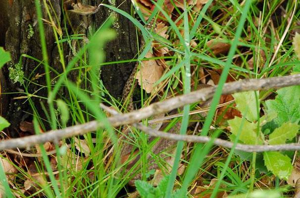 Balkan Whip Snake - Hierophis gemonensis    In Situ
