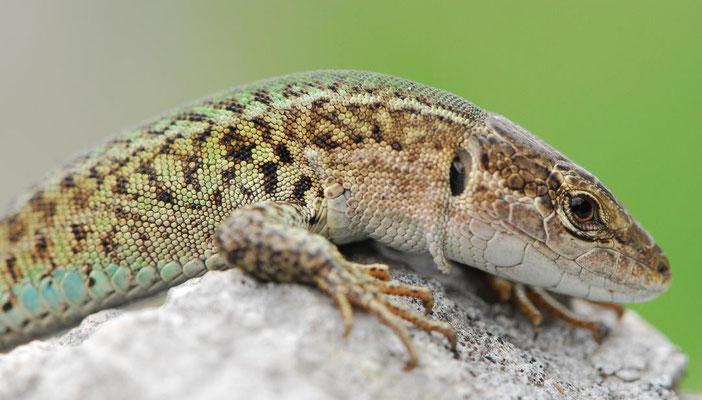 Balkan Wall Lizard - Podarcis Melisellensis